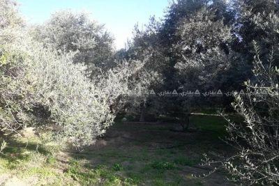 قطعة أرض مشجرة زيتون وبلح وليمون