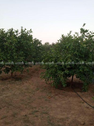 قطعةأرض للبيع مشجرة بالزيتون والفواكه